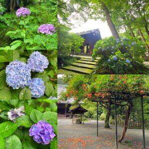 妙本寺の紫陽花