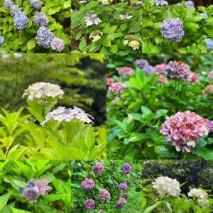 源氏山公園の紫陽花2