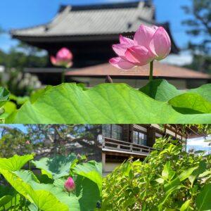 本覚寺nの蓮の花