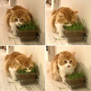 レオと猫草