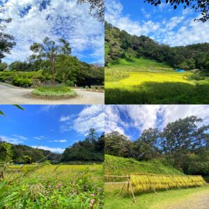 鎌倉中央公園の田んぼの風景など