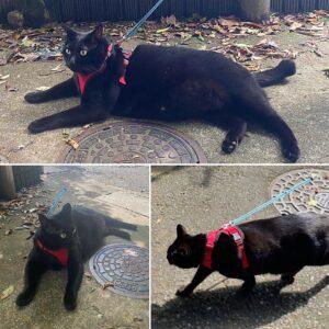 散歩中の黒猫